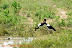 Hwange Nationalpark - Robins - Sattelstörche