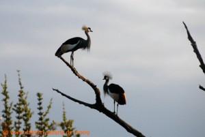 Hwange Nationalpark - Shumba - Kronenkraniche
