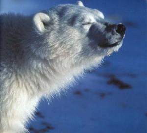 Sonnenbadende Eisbär
