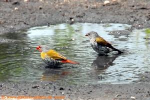 Simbabwe - Hwange Nationalpark - Buntastrild Pärchen