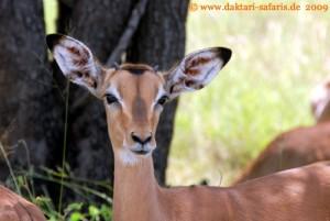 Simbabwe - Hwange Nationalpark - Mandavu Dam - Impala
