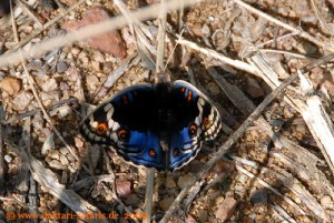 Simbabwe - Hwange Nationalpark - Schmetterling