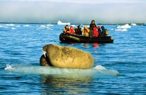 Walross auf einer Eisscholle