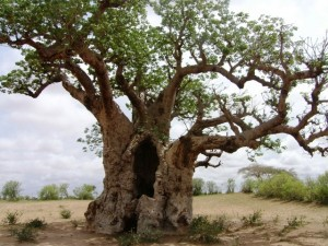 Imposanter Baobab im Saloum Delta