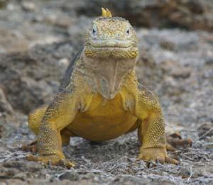 """Eine Meerechse, oder """"Mariguana"""" wie diese Reptilien auf Galapagos genannt werden"""