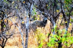 Zebra im National Park