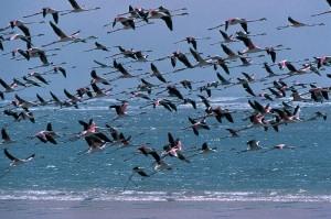 Flamingos in der Sahel Region