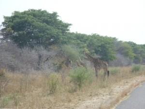 Giraffen im Hwange National Park