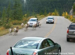 Bergschafe im Jasper-Nationalpark - alle Autos halten an