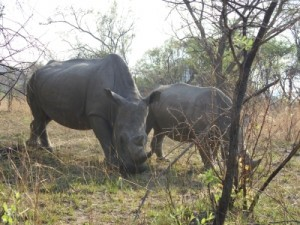 Nashorn im Matobo National Park