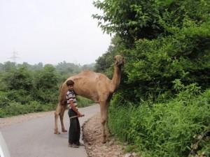 ein kamel in kaschmir