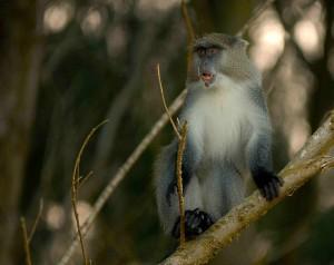 Samango Monkey - Diademmeerkatze