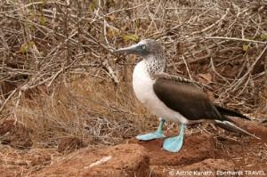 Putziger Blaufußtölpel auf Galapagos