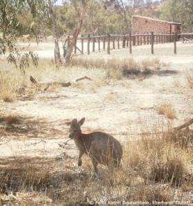 Kängurus begegneten uns immer wieder in der freien Natur