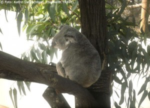 Koala im Daintree-Nationalpark