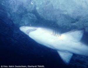 Im Haifisch-Tunnel im Aquarium von Sydney kommt man den Raubtieren zum Greifen nah
