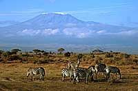 Zebras vor dem Kilimandscharo