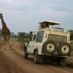 Giraffe auf Pirschfahrt