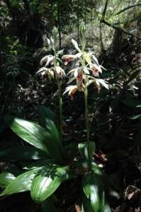 Kuba - Humboldt Nationalpark - Orchideen