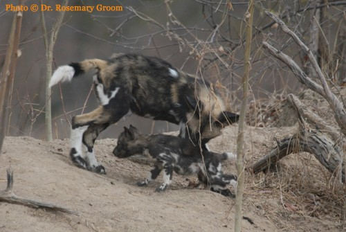 Large & small Wild dog pups together