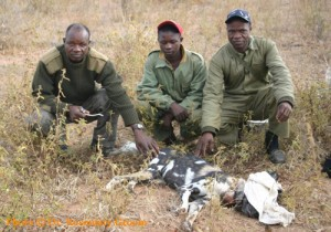 Rueben Bote (left) - Misheck Matari (right) with sedated Wild dog