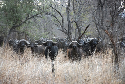 Save Valley Conservancy - Buffalo herd