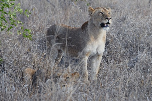 Save Valley Conservancy - Lionesses