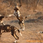 Travel to Zimbabwe: watch African wild dogs with researchers