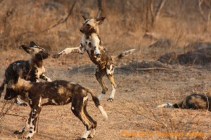 Wild dog puppies playing
