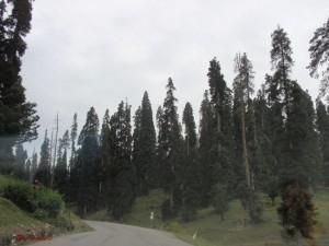 Nadelwald in Kaschmir