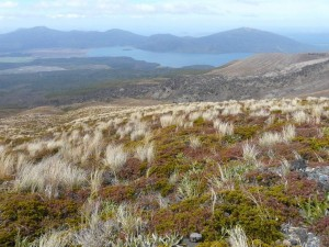 Tussok-Gras, Tongariro-Crossing