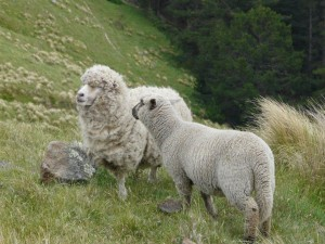Motivgerecht positionierte Schafe bei Port Hills