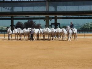 Karthäuserpferde in Jerez