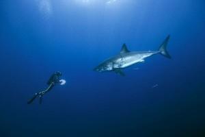 Unsere Ozeane weisser Hai