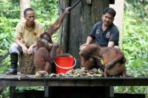 Besuch im Sepilok Orang Utan Center