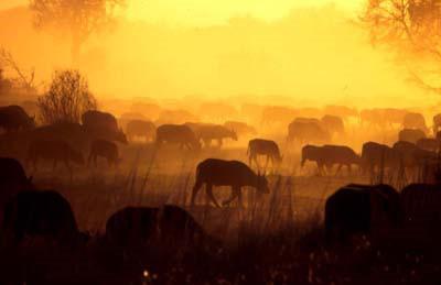 Büffel haben es während der Trockenzeit mit der Durst zu kämpfen © Kwando Safaris