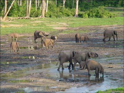 Auf der Dzanga Bai in ZAR können oft mehr als 50 und manchmal bis zu 100 Waldelefanten bei der Aufnahme von Mineralboden beobachtet werden.