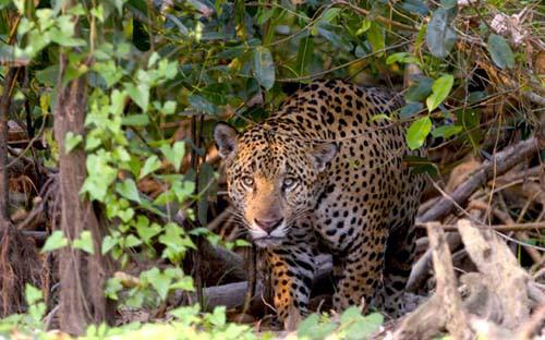 Der furchtlose Blick eines Jaguar
