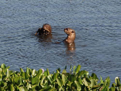 Riesenotter am Rio Claro © K. Thomason