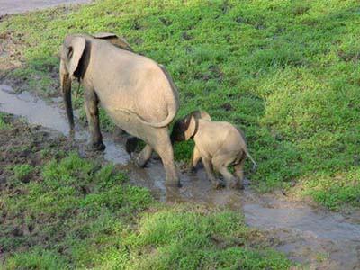 Elefantweibchen mit Jungtier fotografiert von einer Beobachtungsplatform aus
