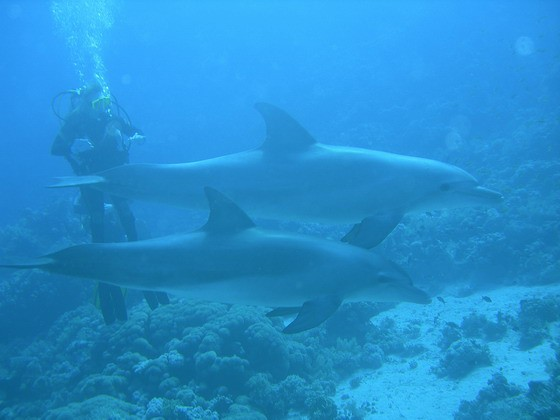Delphine unter Wasser, ein wirkliches Erlebnis beim Tauchen!