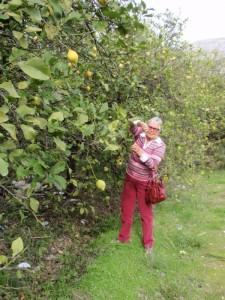 Zitronenbäume in el Chorro