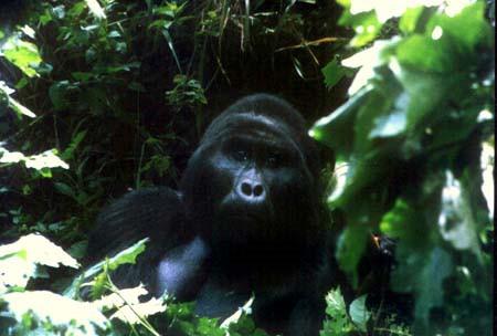 Mächtiger Silberrücken der H-Gruppe im Bwindi Impenetrable Forest © A. Gutierrez