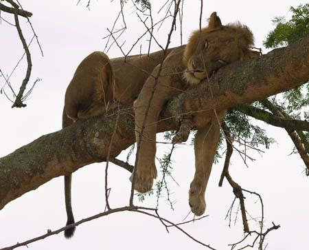 In Ishasha klettern Löwen gern auf die Bäume © N. Manthey