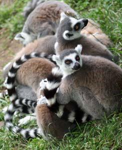 Kattas sind die am häufigsten vertretenen Lemurenarten