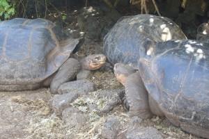 Riesenschildkröten Galapagos