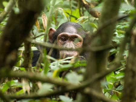 Schimpanse im Kibale Forest © Norbert Manthey