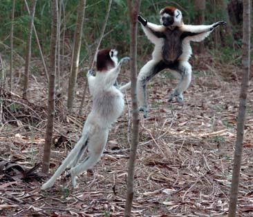 Sifakas sind die Sprungmeister Madagaskars