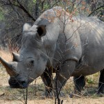 Erfahrungsbericht Simbabwe: Matopos Nationalpark, Bambata Höhle und wandern zu den Nashörnern