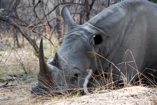 Simbabwe - Matobo - Nashornbulle Gumboots ruht